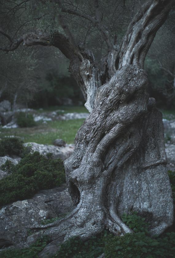 Comprar leña de Olivo en Madrid. Distribuidor de leña de olivo