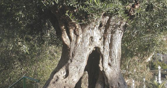 Leña de Olivo en Madrid. Distribución de leña de olivo en Madrid, Todo en Negro